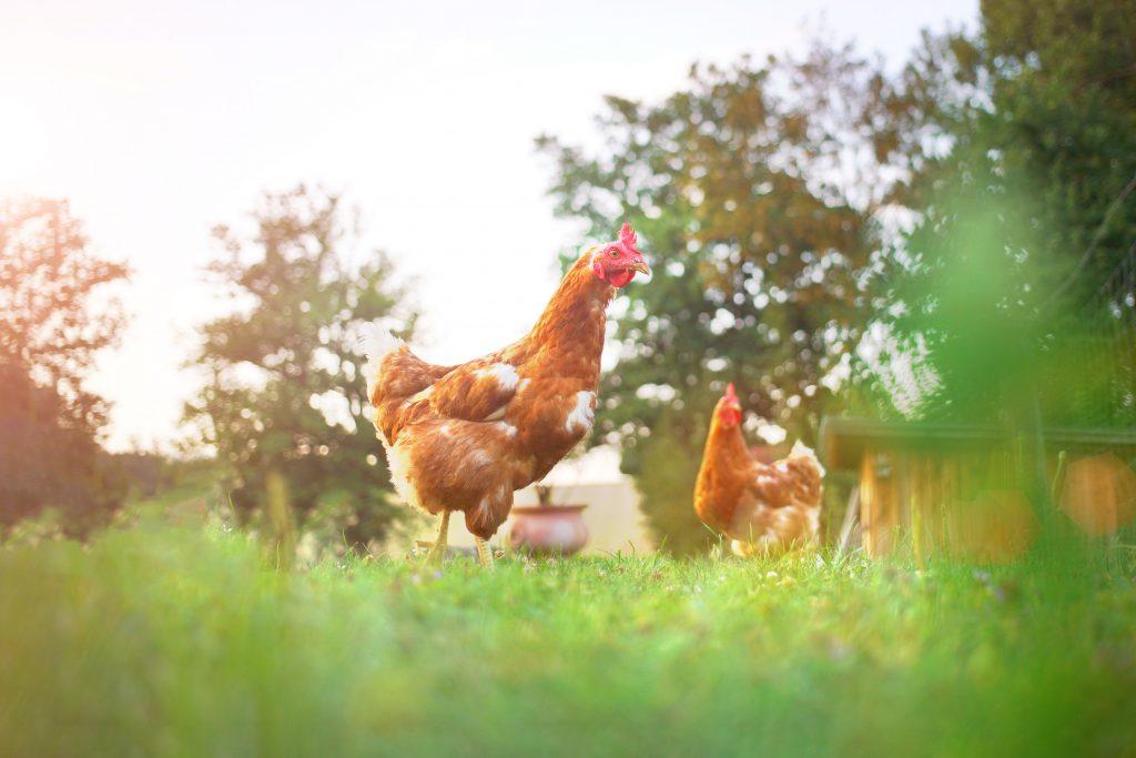 kippen scherrelen vrolijk rond om insecten te vinden