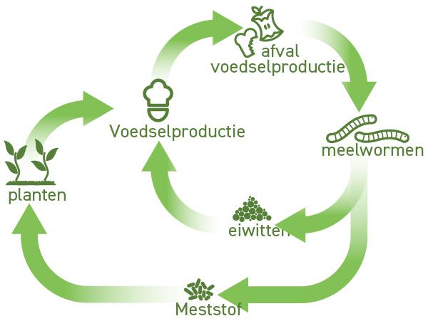 meelwormen sluiten de voedselketen, ze leven op reststromen die vrijkomen bij de voedselproductie.